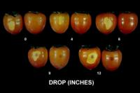 persimmons_bruise_browning