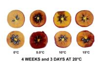 persimmons_chilling_injury