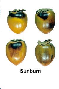 persimmons_sunburn_damage