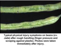 Physical_injury_on_beans960x720