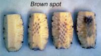 pineapple_brown_spot