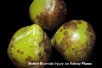 plums_methyl_bromide_injury