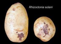 potato_black_scurf