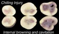 potato_early_crop_chilling_injury