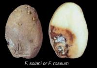 potato_fusarium_dry_rot