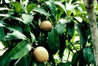 sapodilla_cultivar