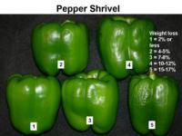 Shriveling_of_bell_Pepper960x720