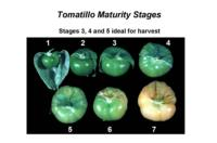 tomatillo_maturity_stages