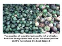 Tomatillo_quality-fresh_vs_stored