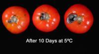 tomato_alternaria_from_chilling
