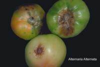 tomato_alternaria_rot2