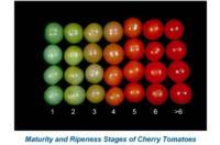 tomato_cherry_maturity_and_ripeness