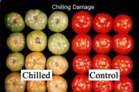 tomato_chilling_injury2