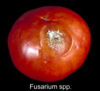 tomato_fusarium_rot