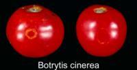 tomato_ghost_spots