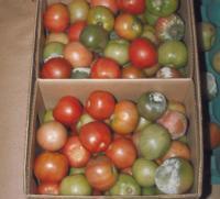 tomato_phytophthora2