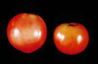 tomato_solar_yellowing2