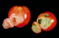 tomato_solar_yellowing3
