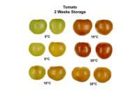 tomato_temperatureEffects