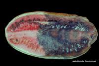 watermelon_lasiodiplodia_rot