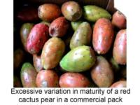 Maturity_variation_in_a_box_of_cactus_pear