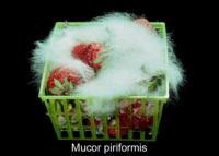 strawberry_mucor_rot2