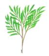 asparagus fern033