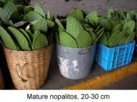 Mature_nopalitos