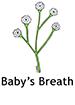 babysbreath_english250x350
