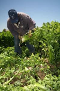 GAPs-Celery-Harvest