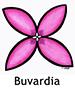 bouvardia_spanish250x350