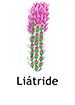 liatris_spanish250x350