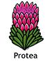 protea_spanish250x350