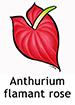 Anthurium_French250x350
