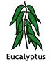 Eucalyptus_French250x350