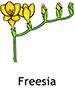 Freesia_French250x350