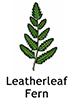 Leatherleaf_French250x350