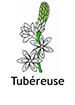 Tuberose_French250x350