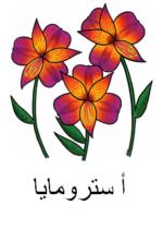 Alstroemeria Arabic