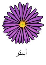Aster Arabic