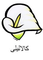 Calla Lily Arabic