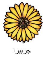 Gerbera Arabic