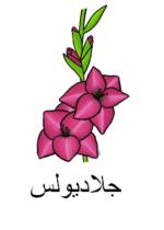 Gladiola Arabic