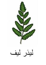 Leatherleaf Arabic