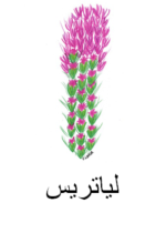 Liatris Arabic