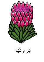 Protea Arabic