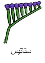 Statice Arabic