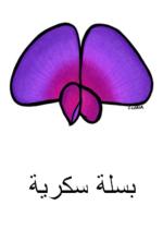Sweet Pea Arabic