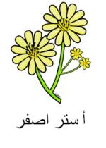 Yellow Aster Arabic